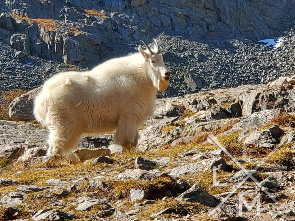 In Response to the interview with an adventurer portion of the Outstanding Blogger nomination is a picture of 5 foot tall mountain goat in full winter coat staring at me with a confused look.