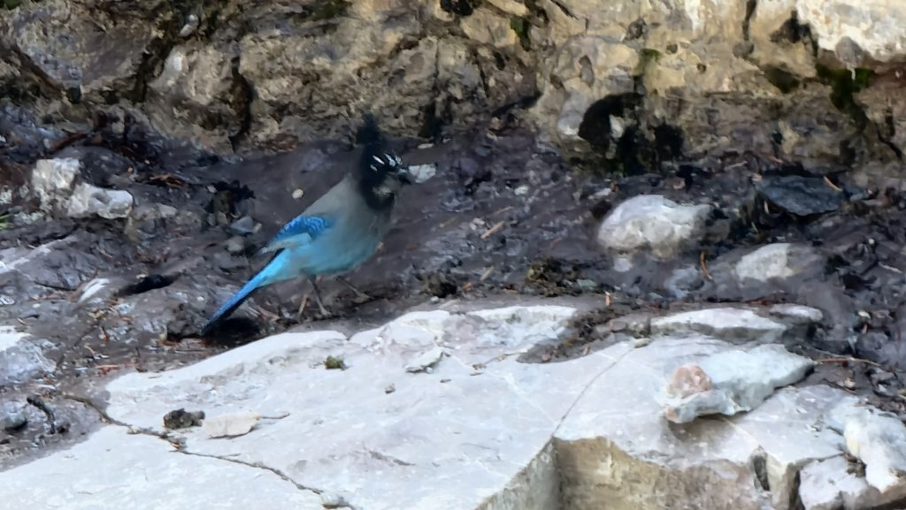 A small bird with bright blue tail and wing feathers and a black head joined me on my hike of the Ouray Perimeter Trail.